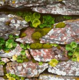 graham brace - nature embelishes an old stone wall